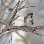 Common Redpoll - Photo by John Pelechaty