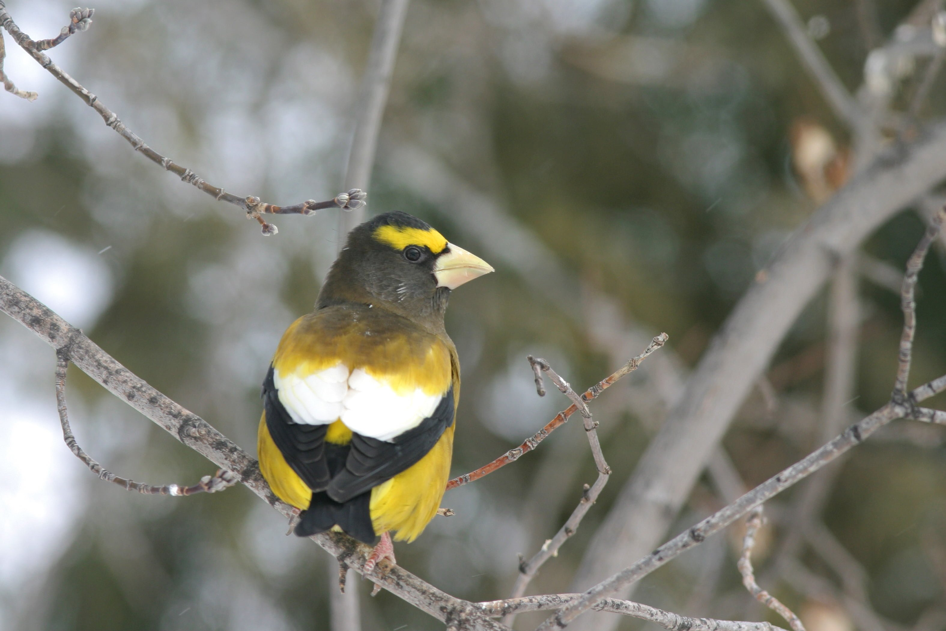 Evening Grosbeak - Photo by Christian Artuso