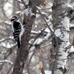 Hairy Woodpecker - Photo by Chris Gray