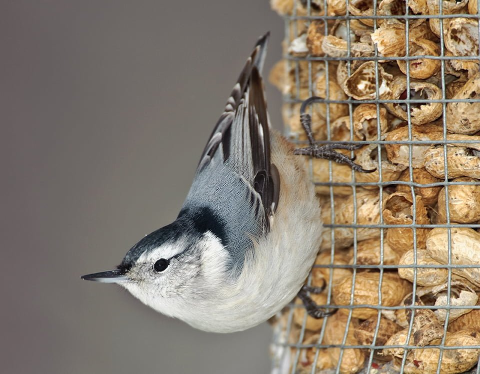 Nuthatch - Photo by Chris Gray