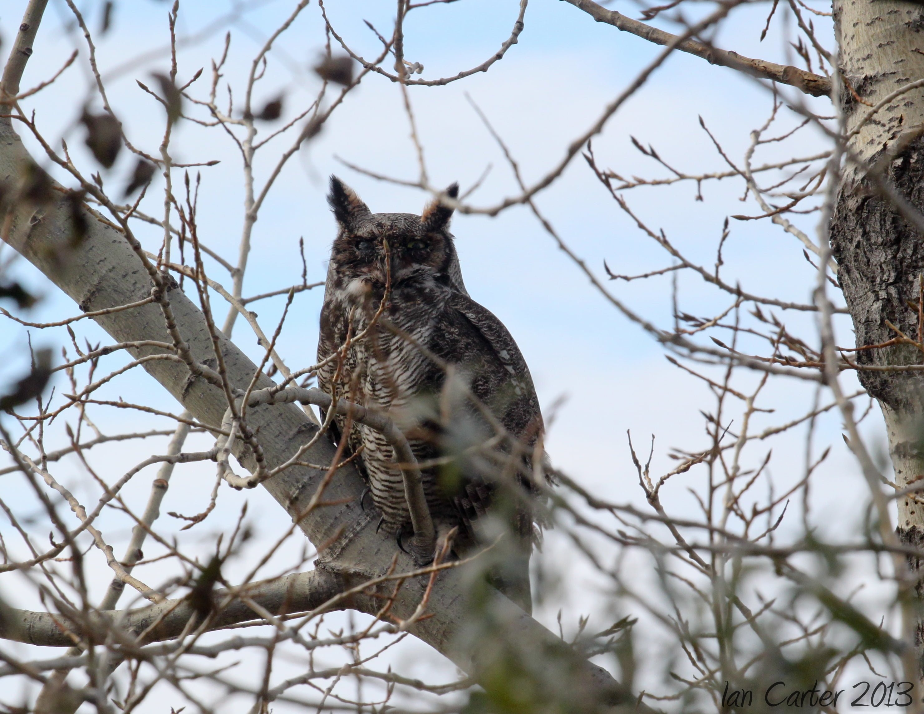 Great Horned Owl - Photo by Ian Carter