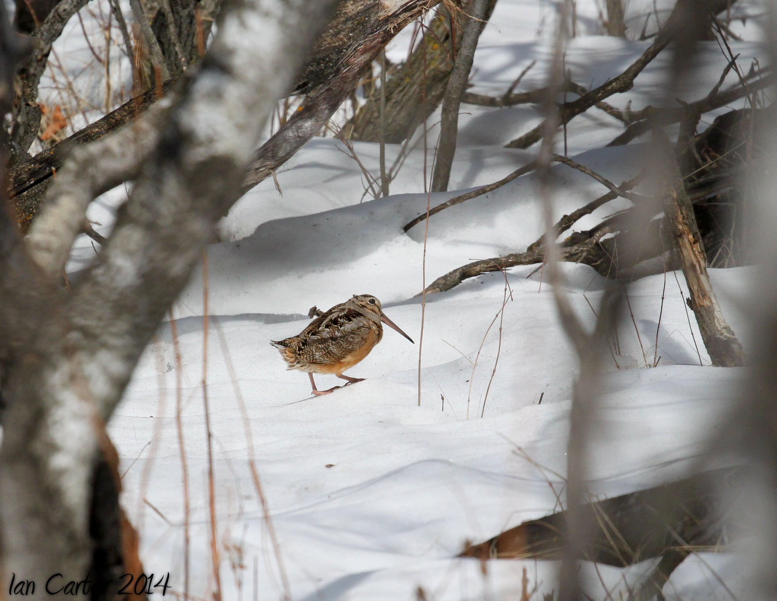 Woodcock - Photo by Ian Carter