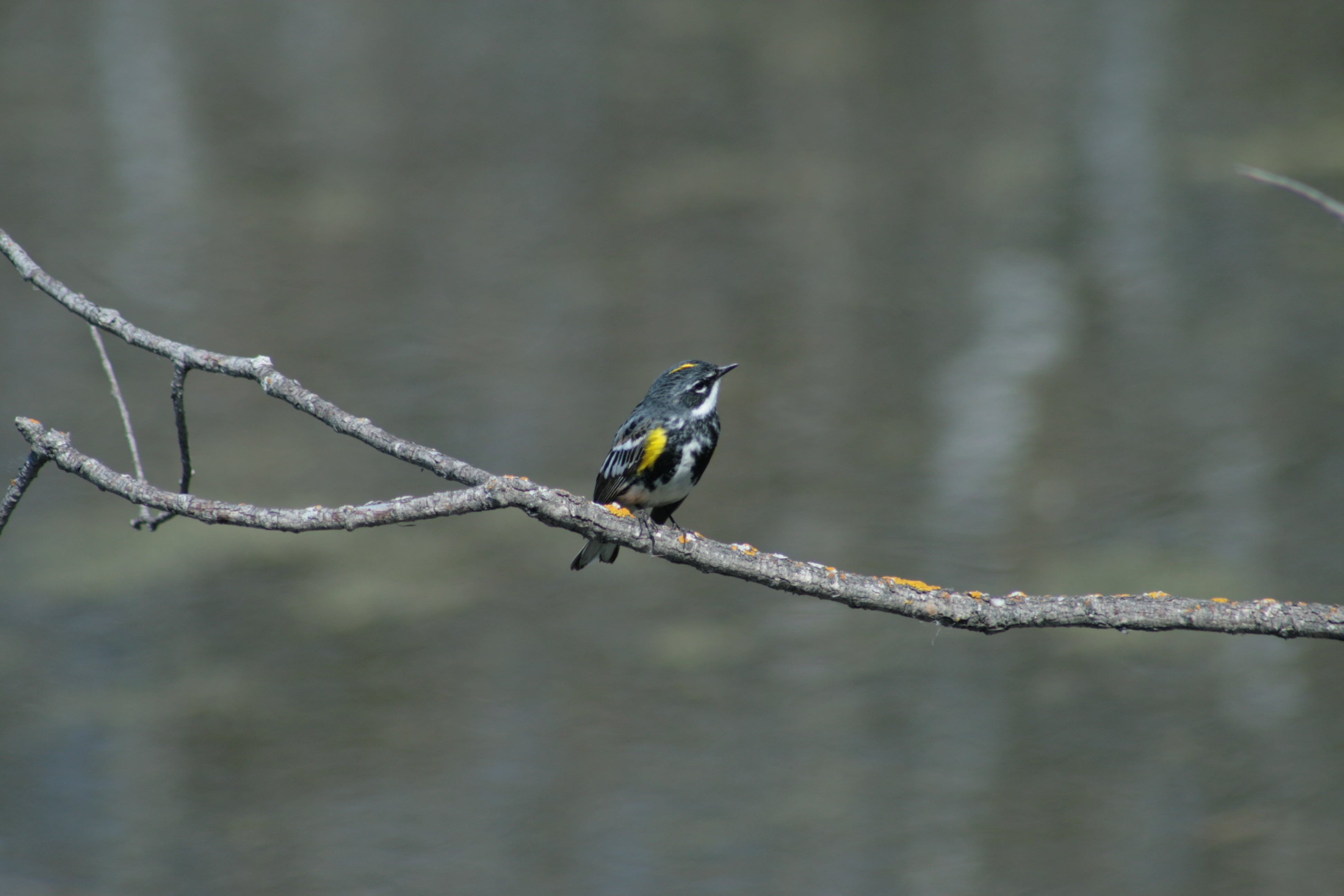 Yellow-rumped Warbler - Photo by Gerald Kornelsen