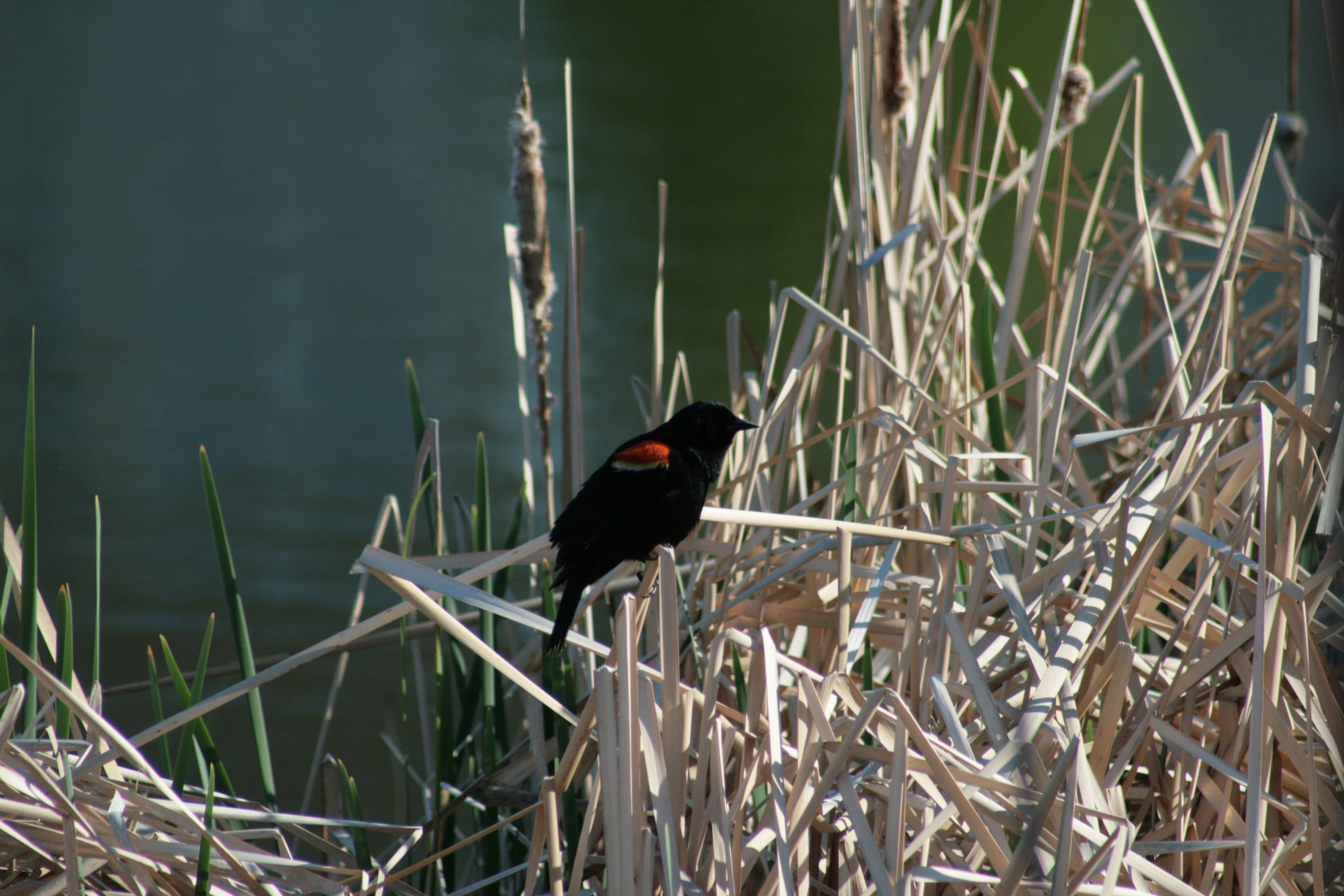 Male Red-winged Black Bird - Photo by Gerald Kornelsen