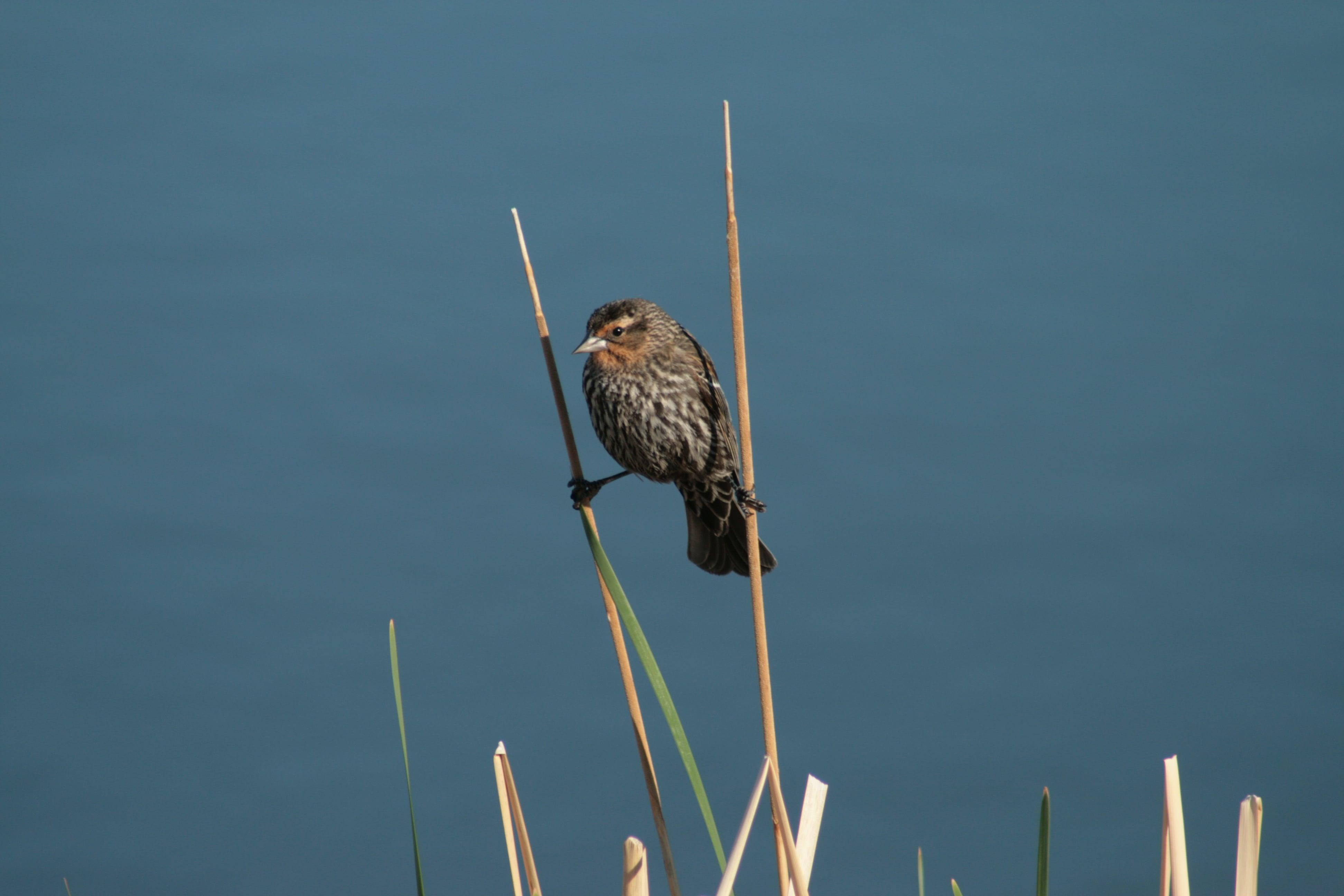Female Red-winged Black Bird - Photo by Gerald Kornelsen