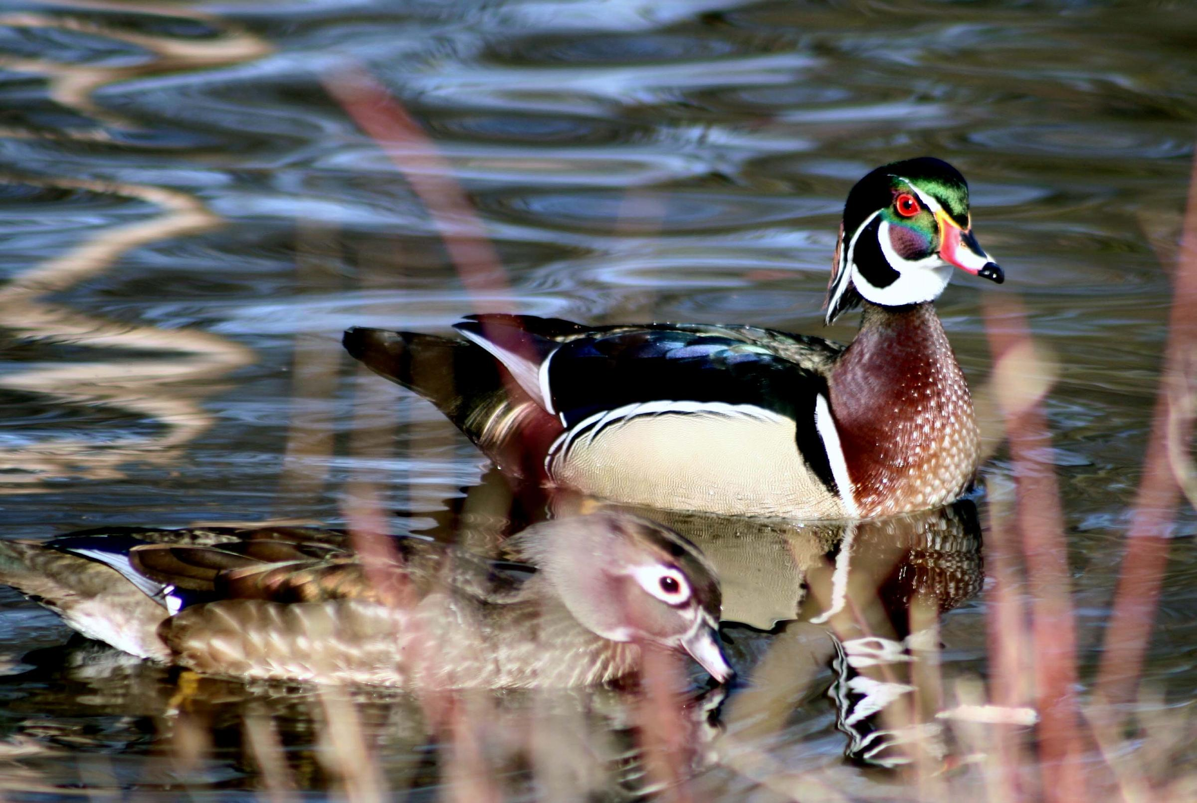 Woodducks - Photo by Larry Trupp