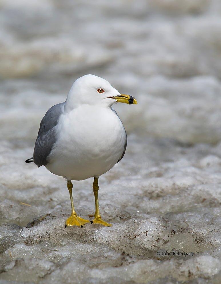Ring-billed Gull - Photo by John Pelechaty