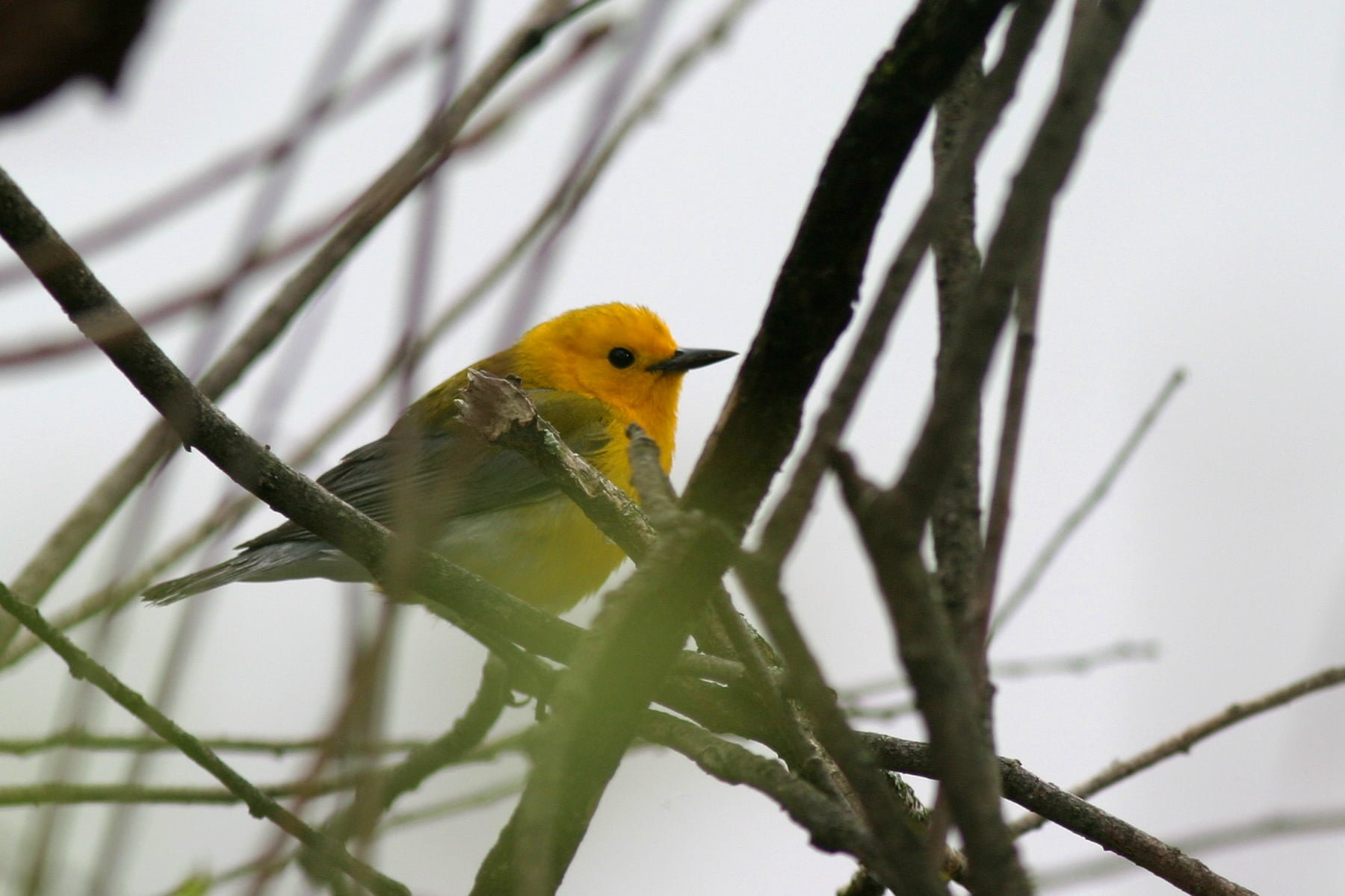 Prothonotary Warbler - Photo by Christian Artuso