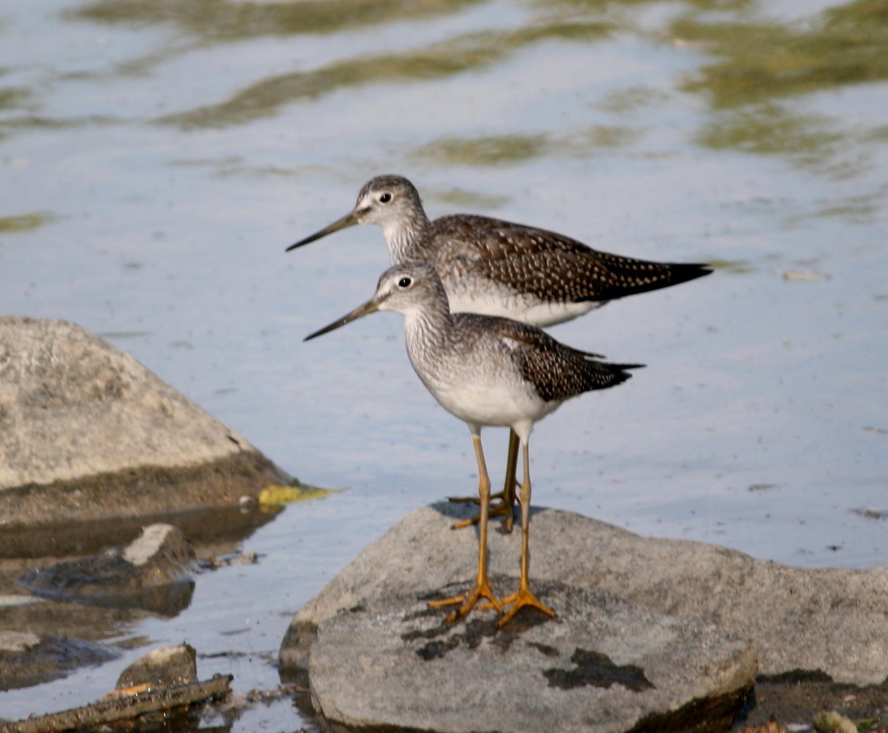 Greater Yellowlegs - Photo by Larry Trupp