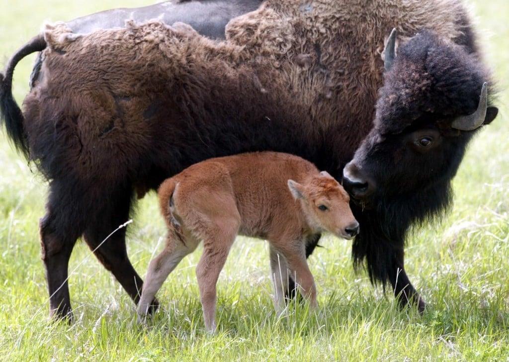 Family Bison Safari