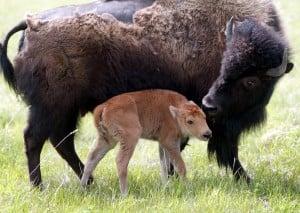 030603 new bison -wg