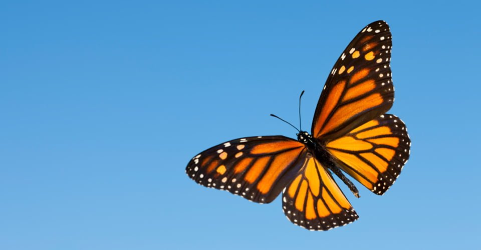 Central-America-Monarchs-Photo-2-butterfly