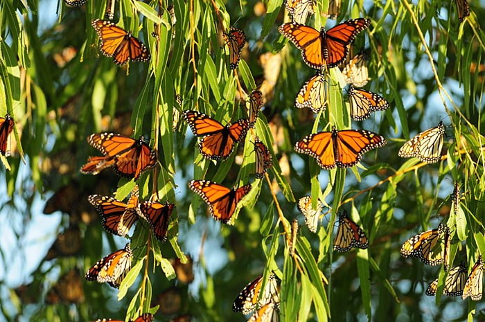 monarch-migration-2