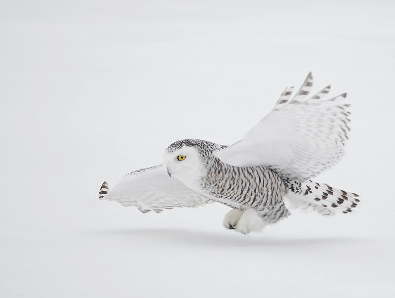 A_Snowy_Owl_in_Flight_David_Hemmings
