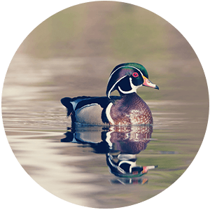 Naturescape: All About Wood Ducks