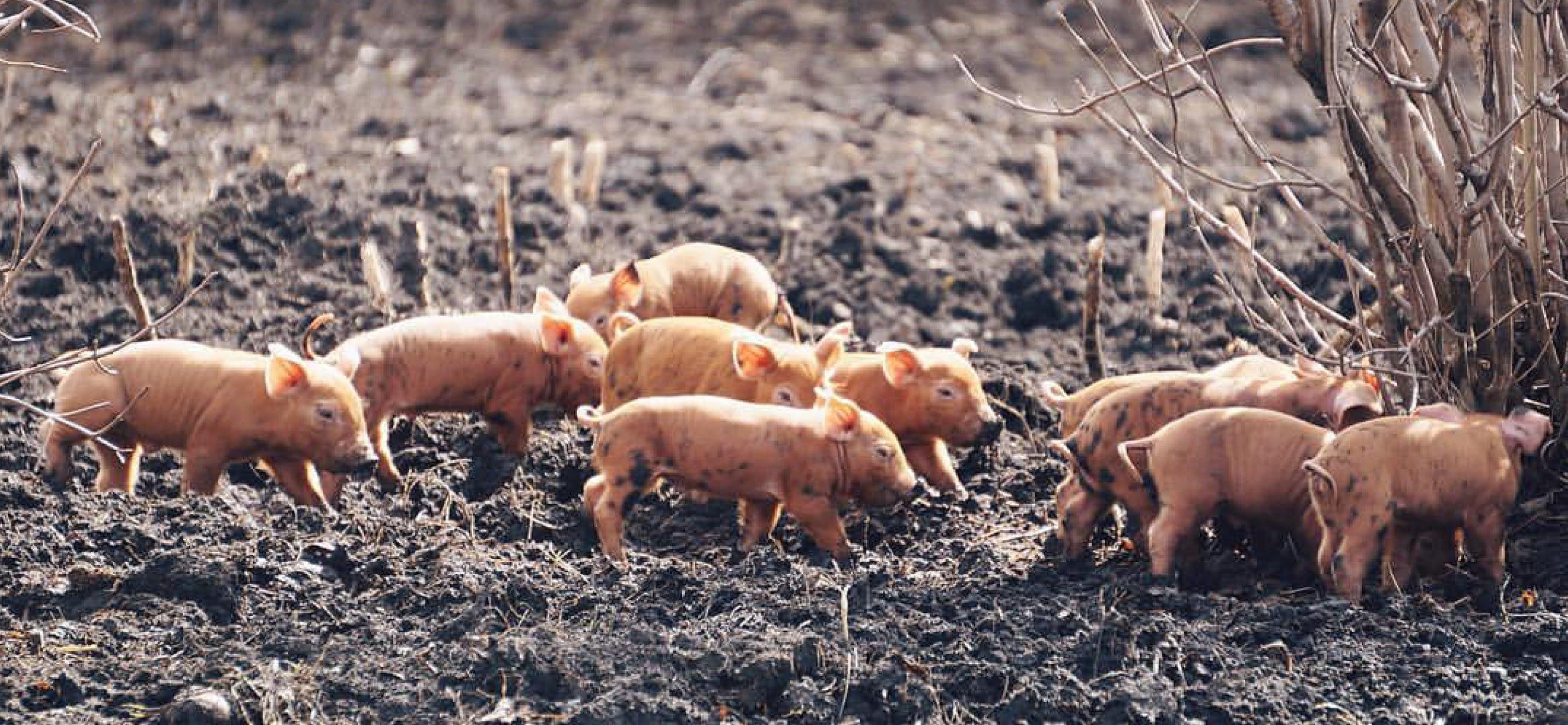 piglets-banner