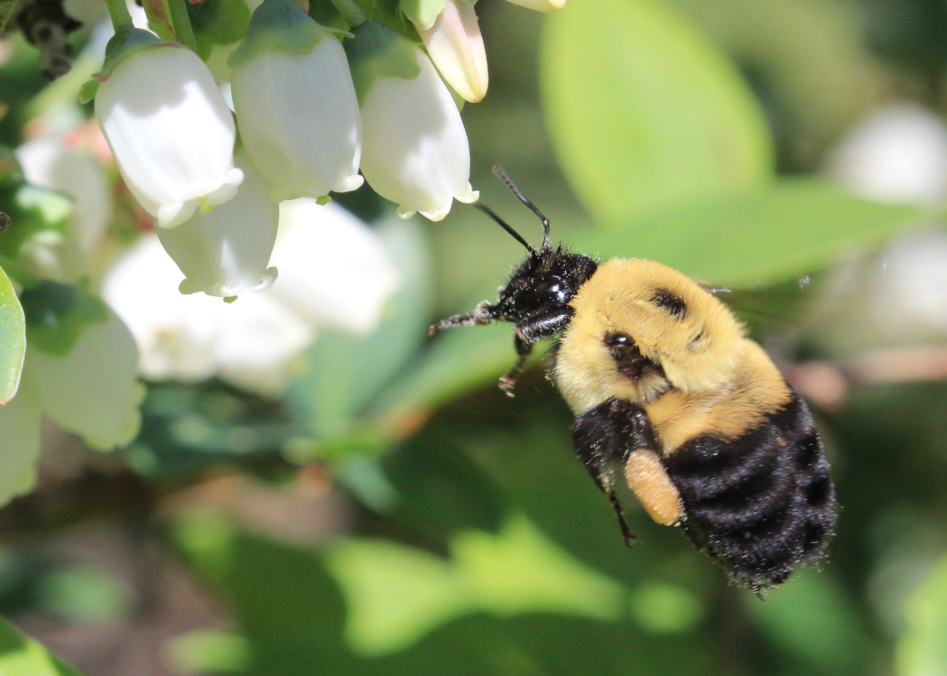Bumble Bee Survey