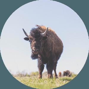 FH&A x FWA: Bison Safari