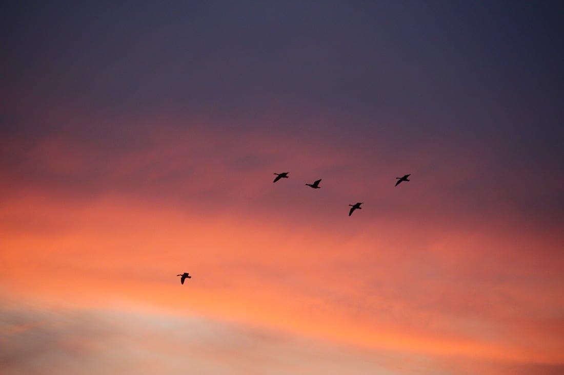 FortWhyteAlive-SunsetGooseFlights-6
