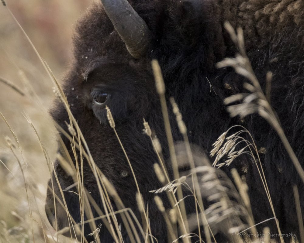 Introduction to Bison Photography