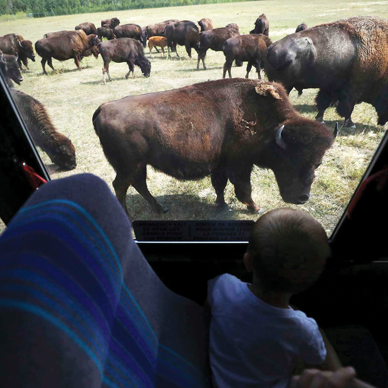 Bison Safari