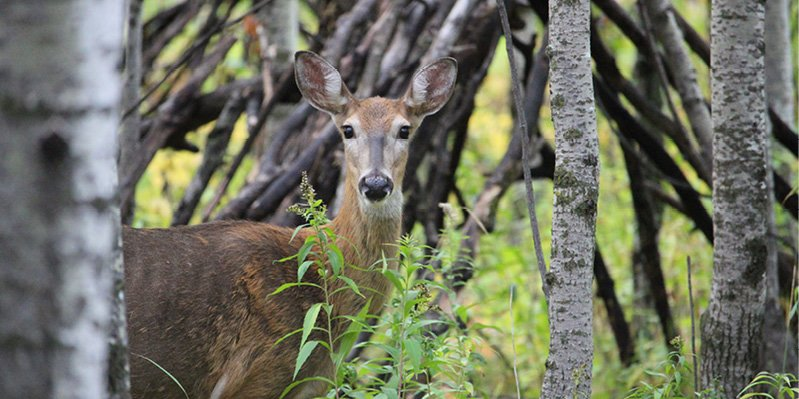 Deer peering out from behind a tree at FortWhyte Alive