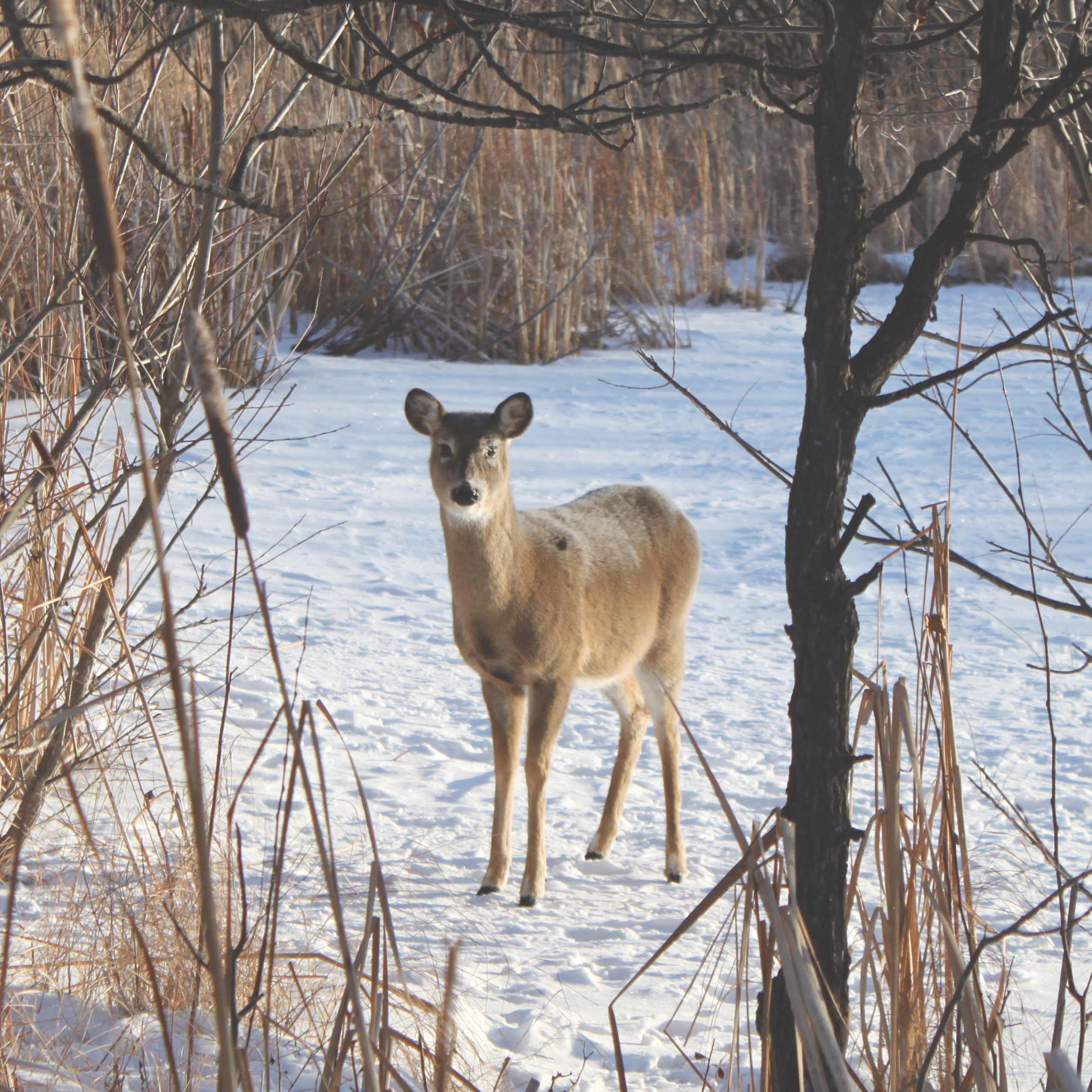 White tailed deer standing in a frozen marsh at FortWhyte Alive.