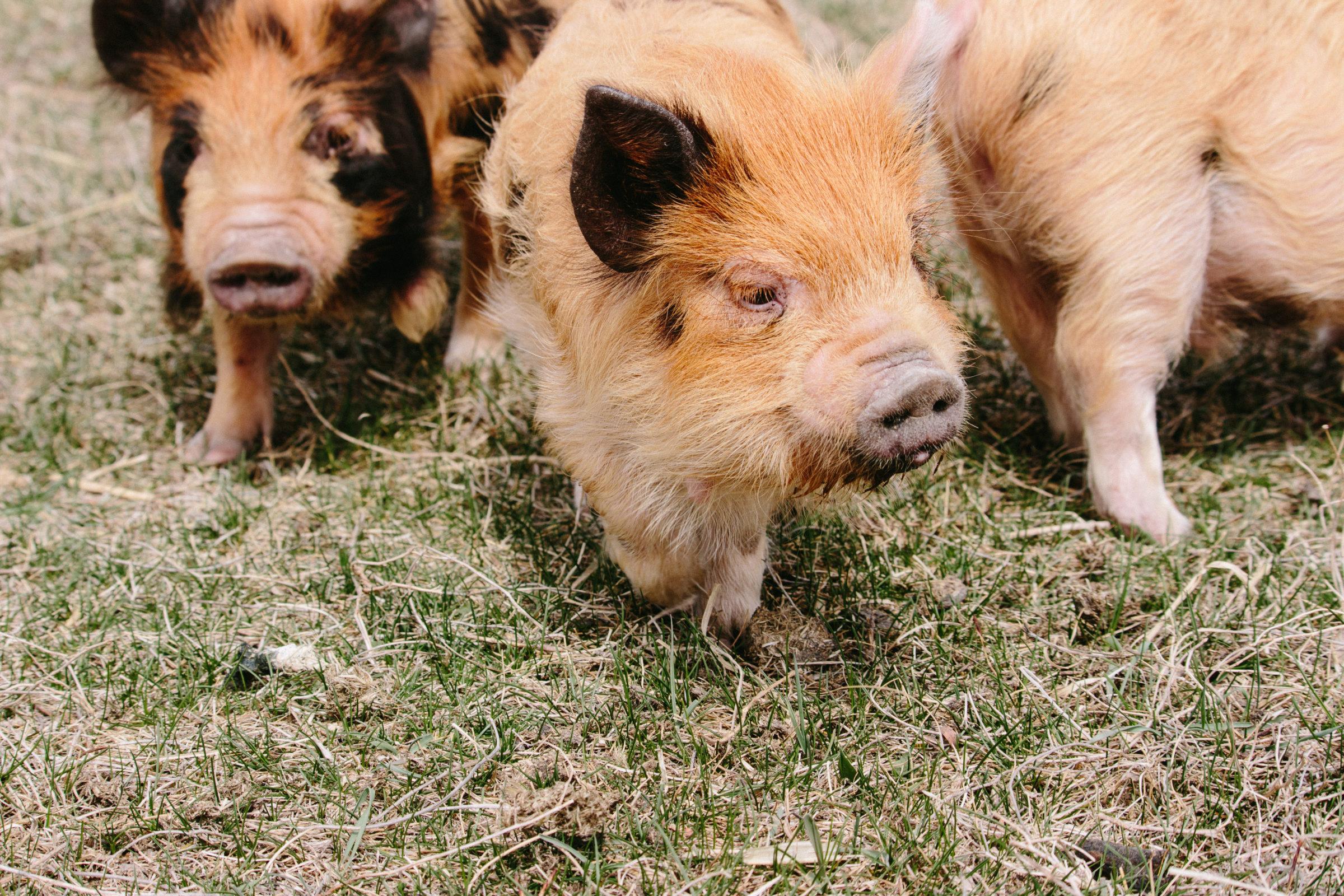 Three kune kune pigs in the pasture