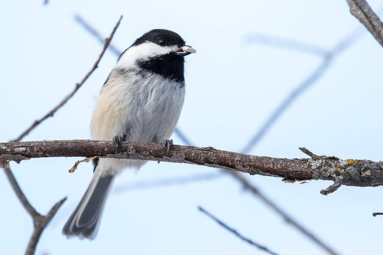 Chickadee sitting on tree branch