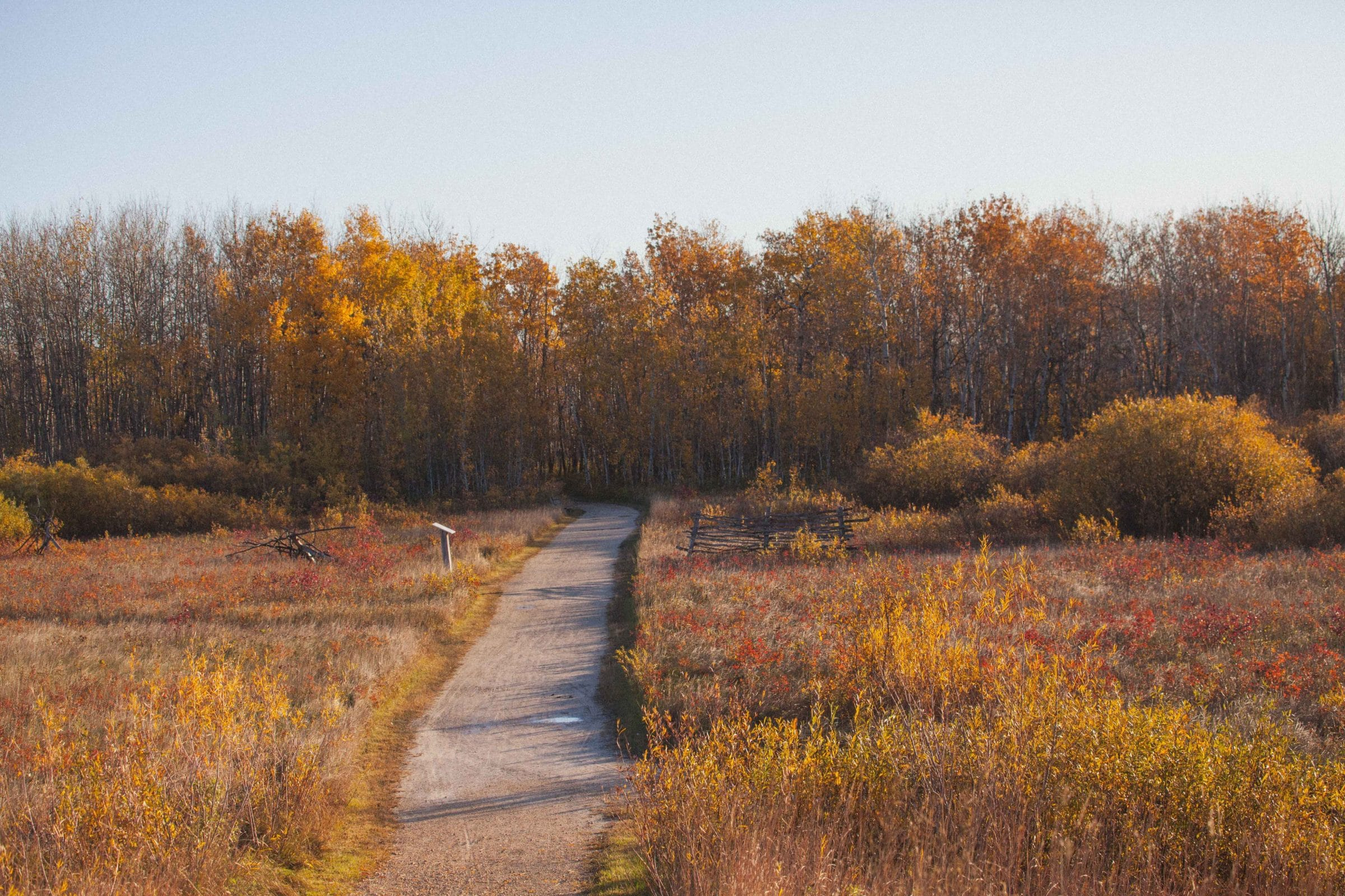 Wide shot of a trail going into a yellow and orange forest in autumn.