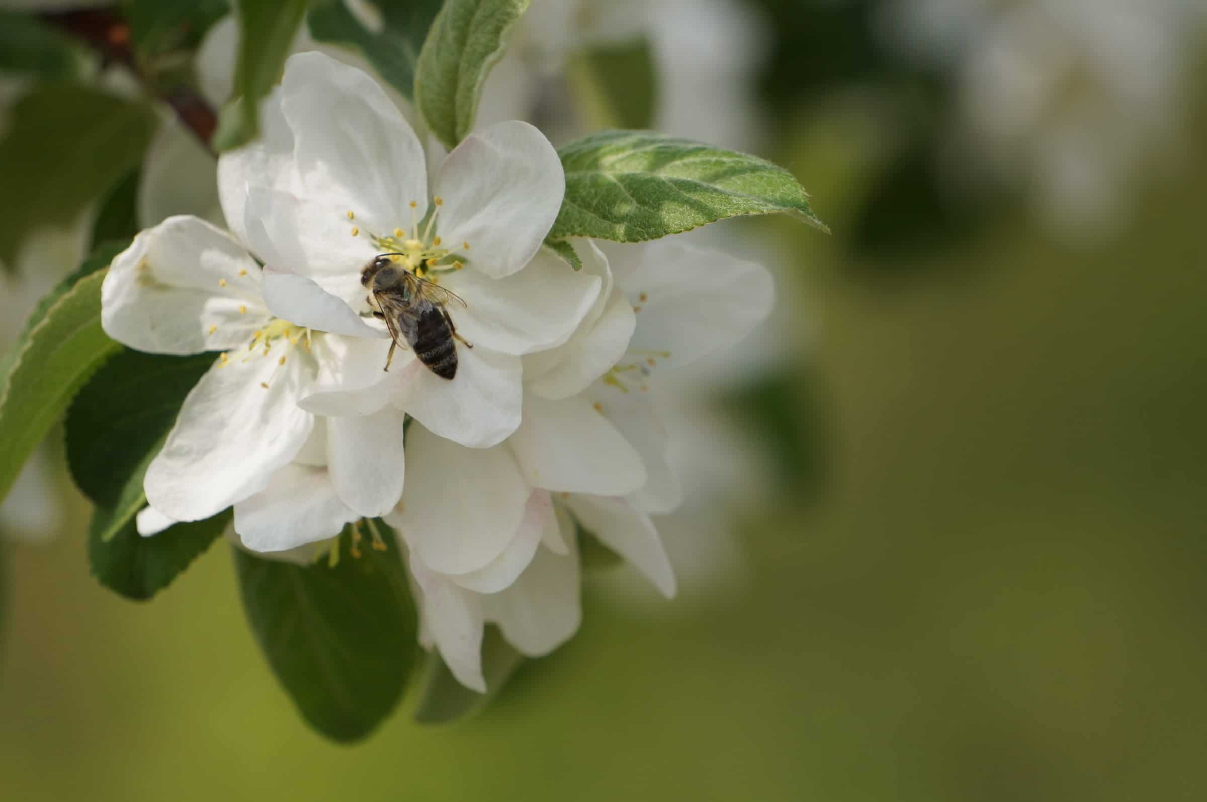 Bee sitting on white flower