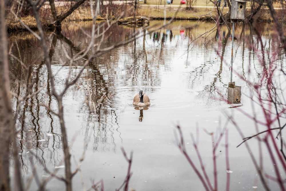 Goose alone in pond