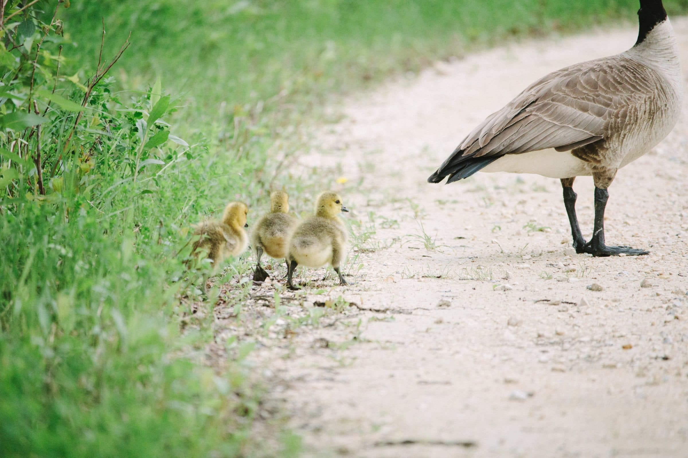 Goose leading three yellow goslings down gravel path in summer