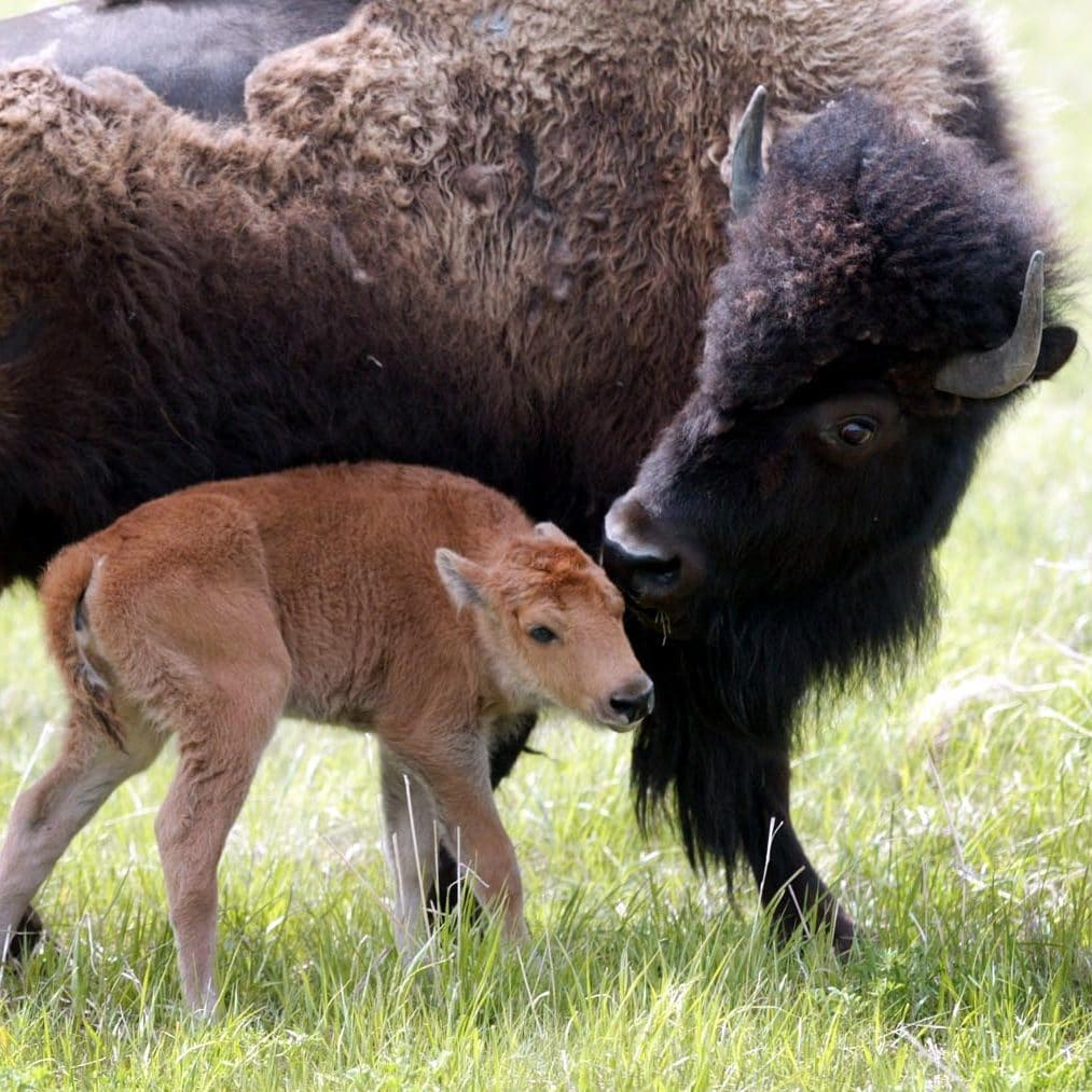 Mother bison with baby calf in field