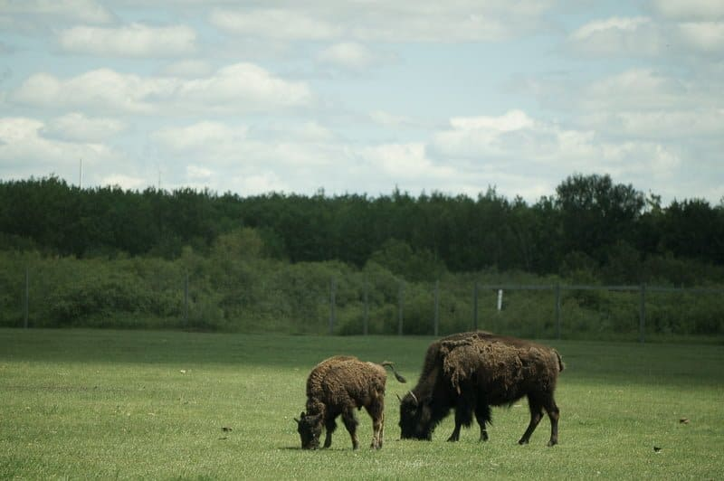 Two bison graze in a large field