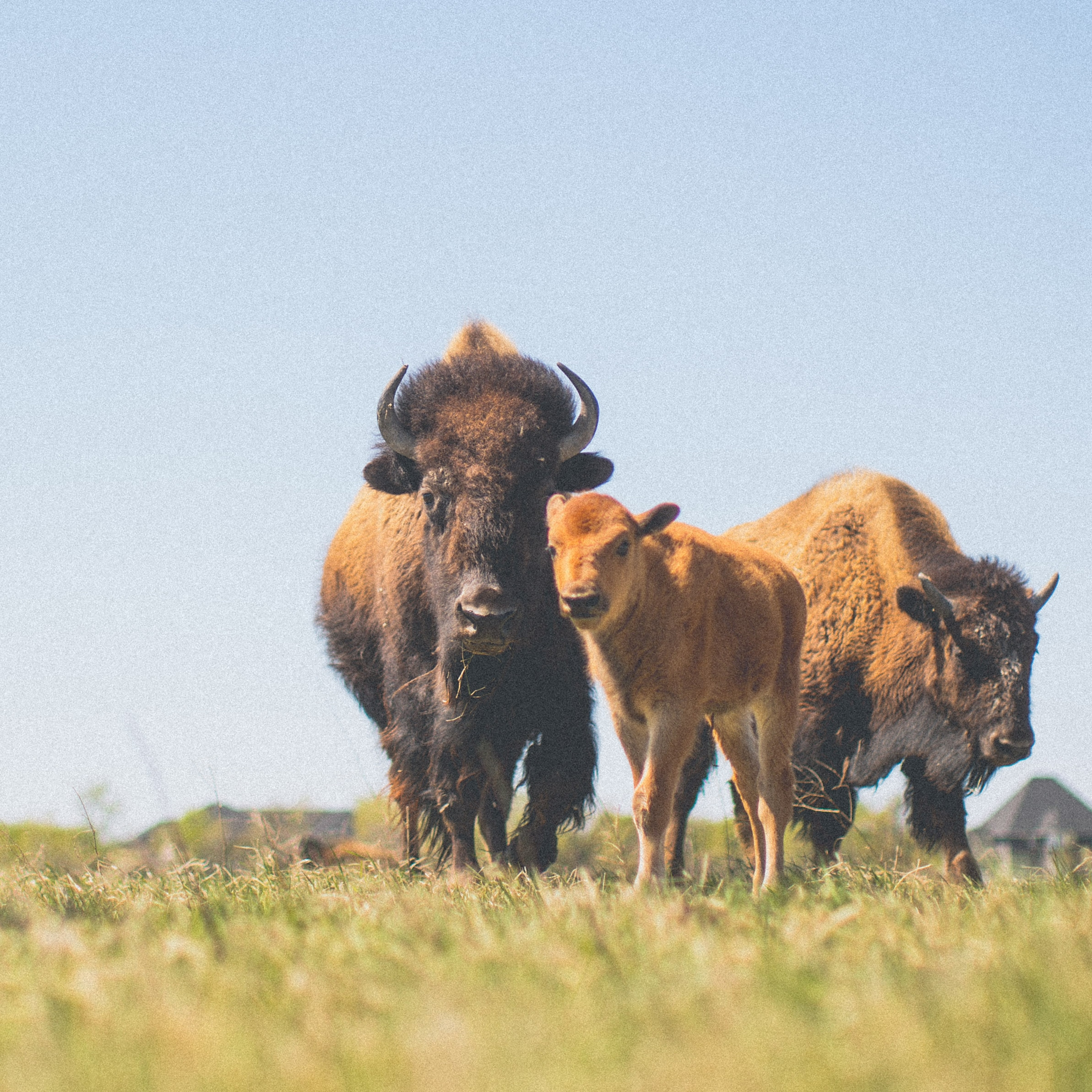 A baby bison and its mother stand in the field looking at the camera.