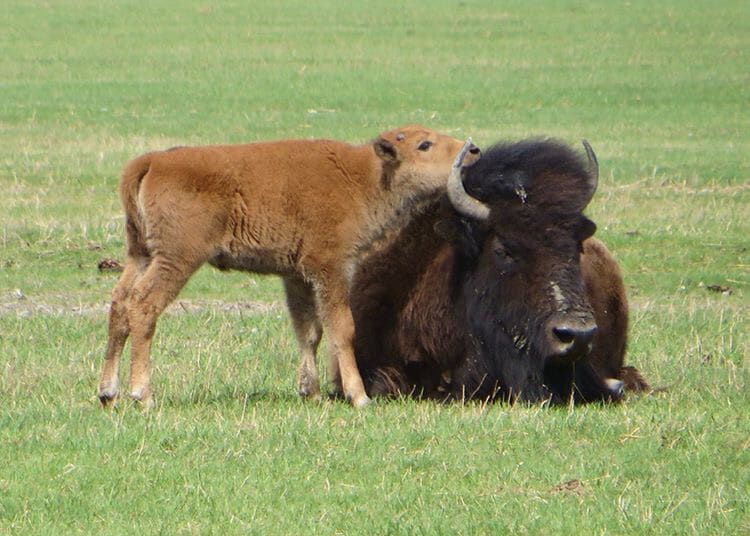 Bison and calf lounging in the Bison Prairie.