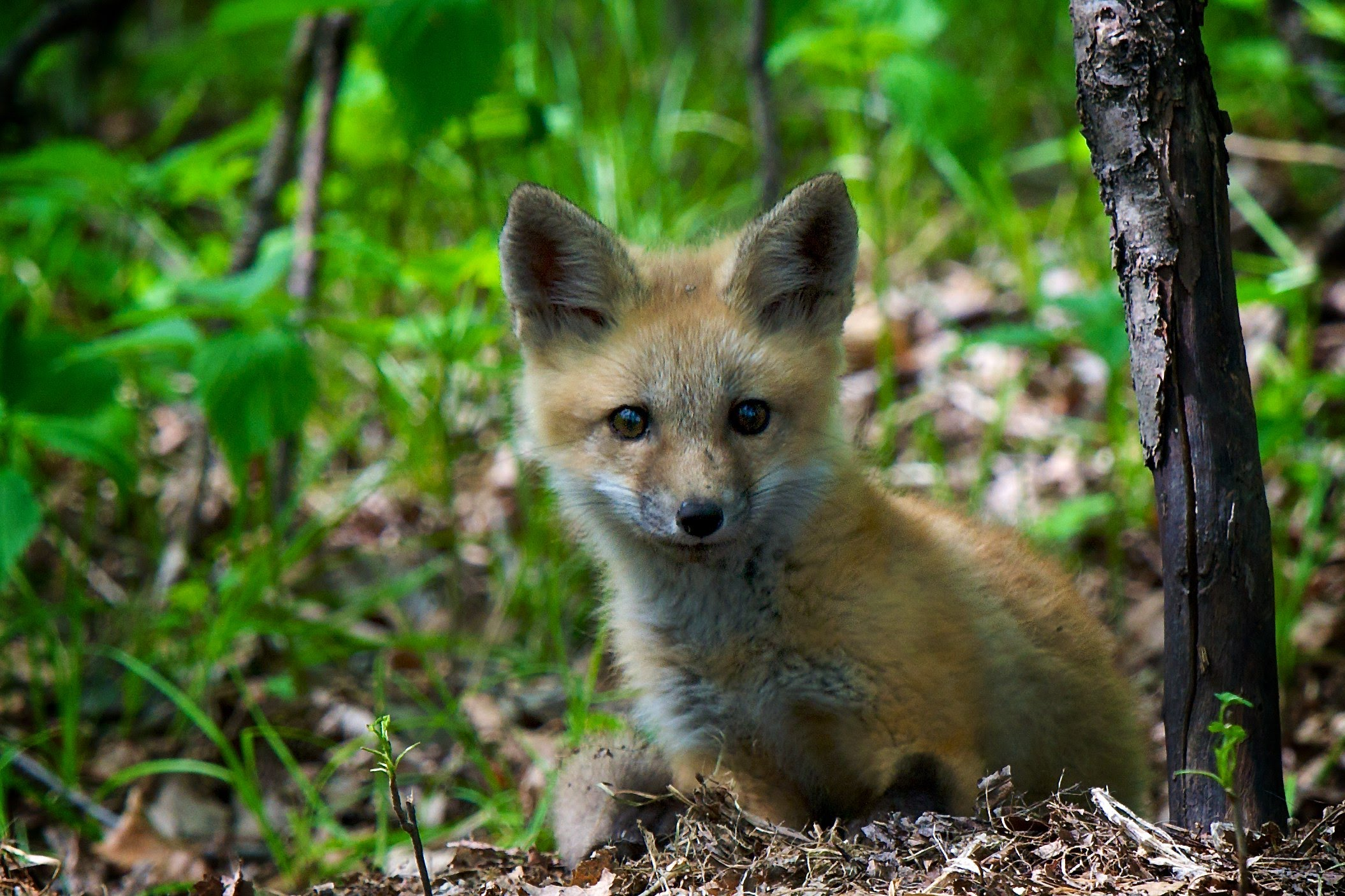A young fox looks alert in the forest