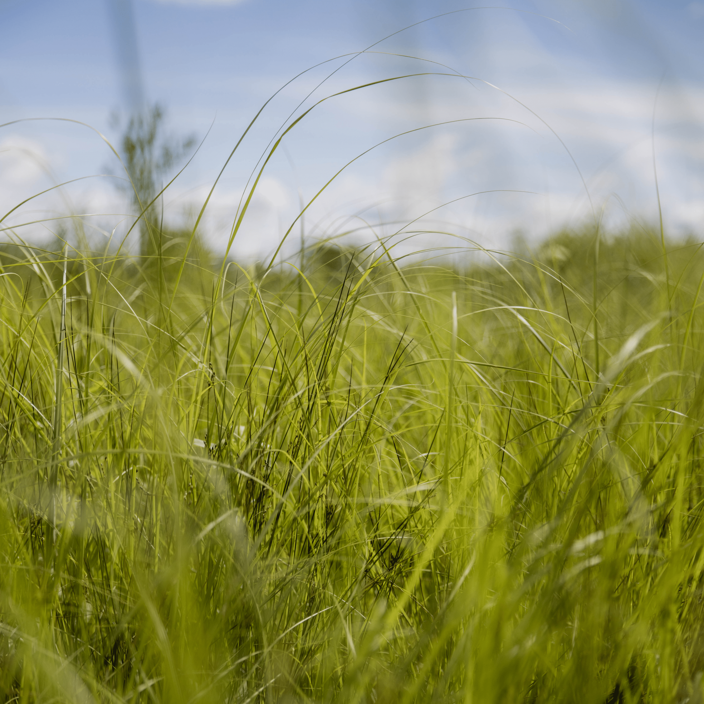 Close up of tall green prairie grass with a blue sky behind it.