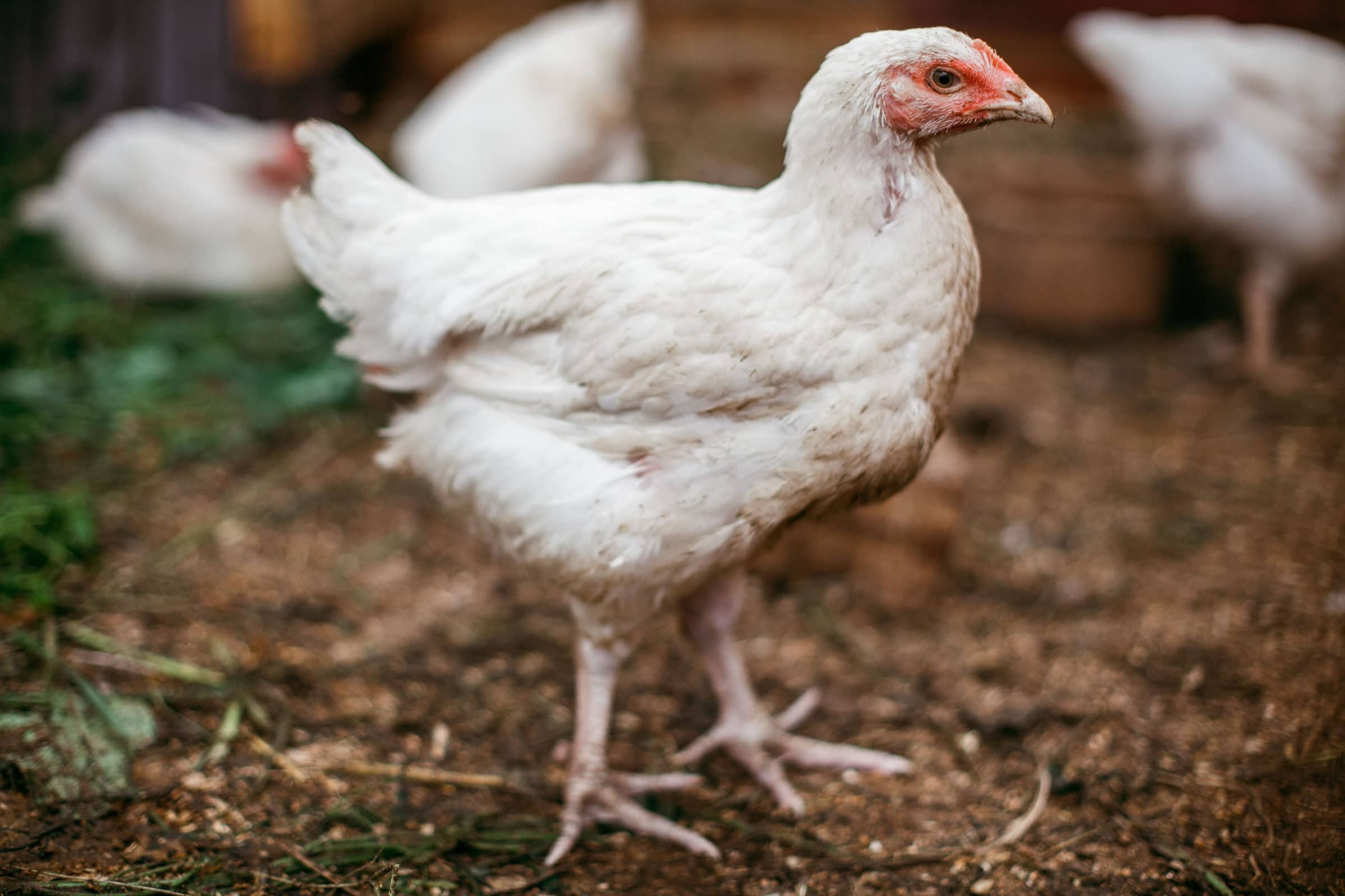 A broiler chicken in the chicken coop.