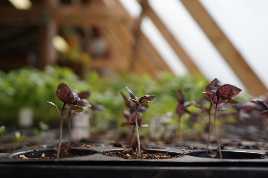 Basil plants growing in a passive solar greenhouse.