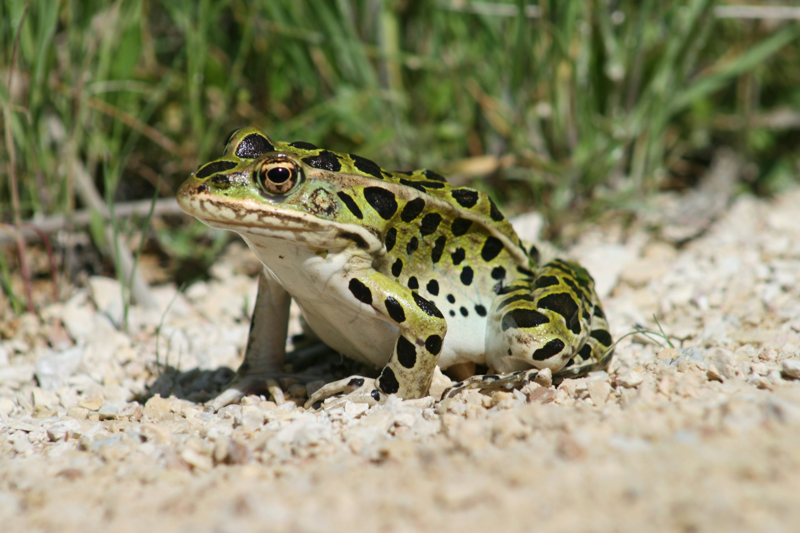 A leopard frog sitting on gravel and grass