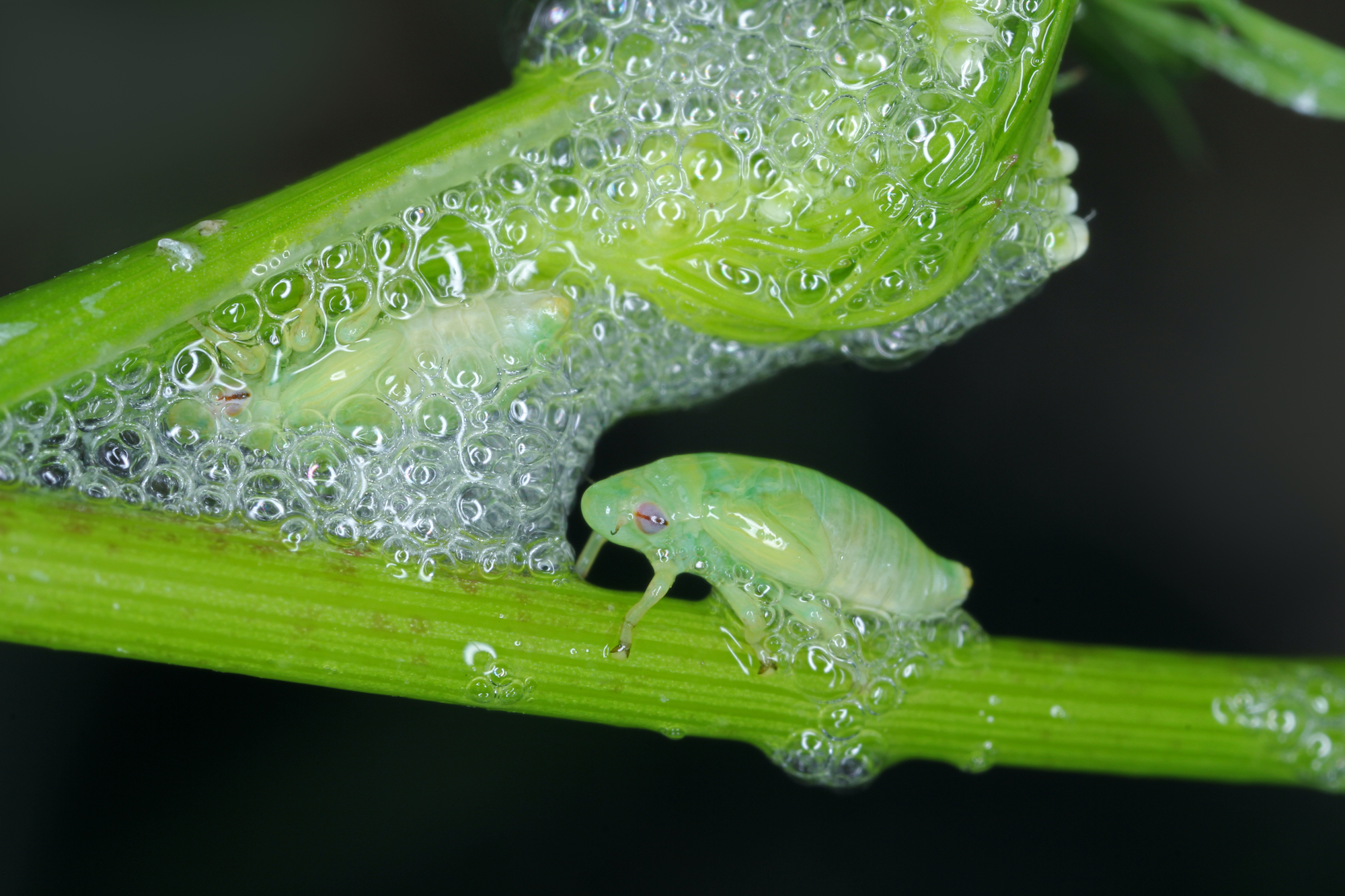A green spittlebug nymph sits beside the foam substance on a green plant