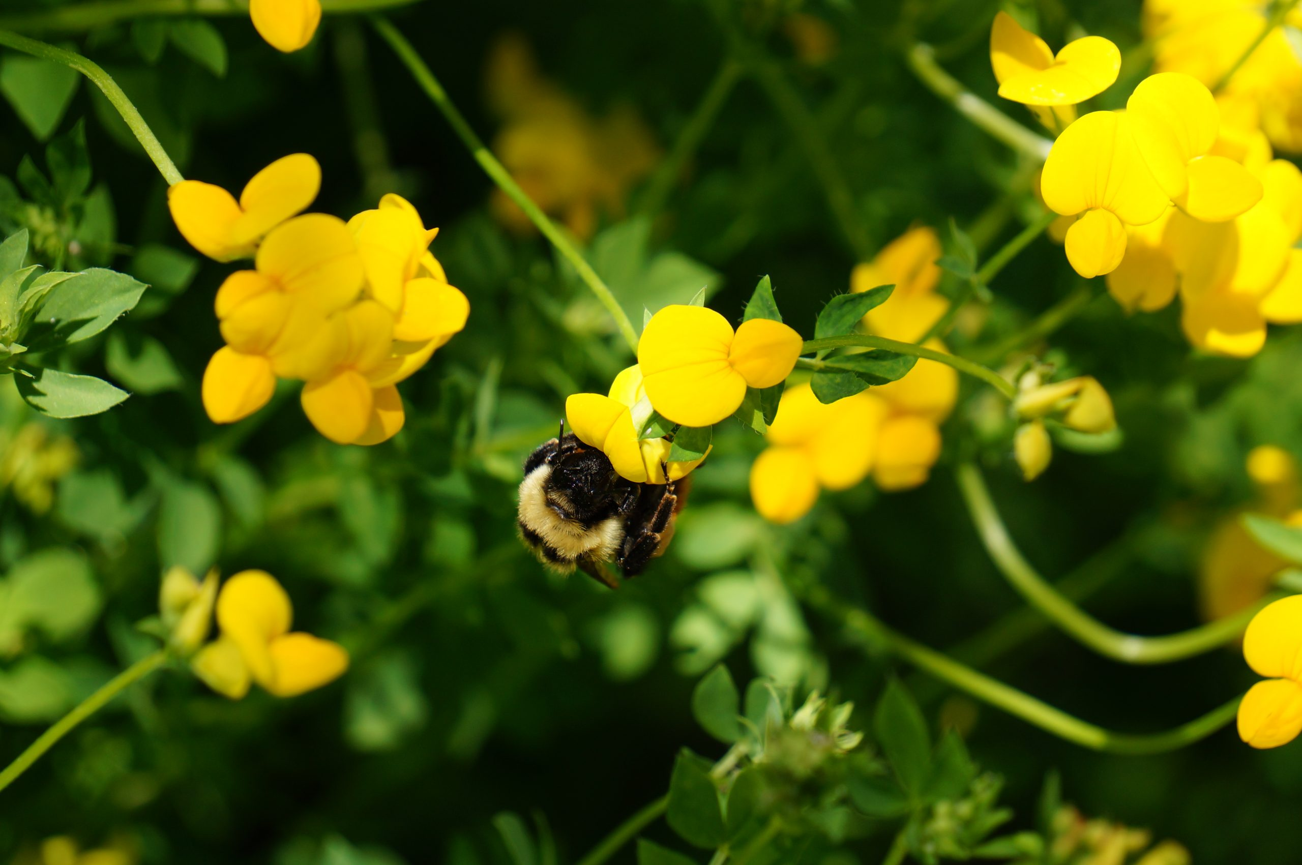 A bumble bee sits on small yellow flowers