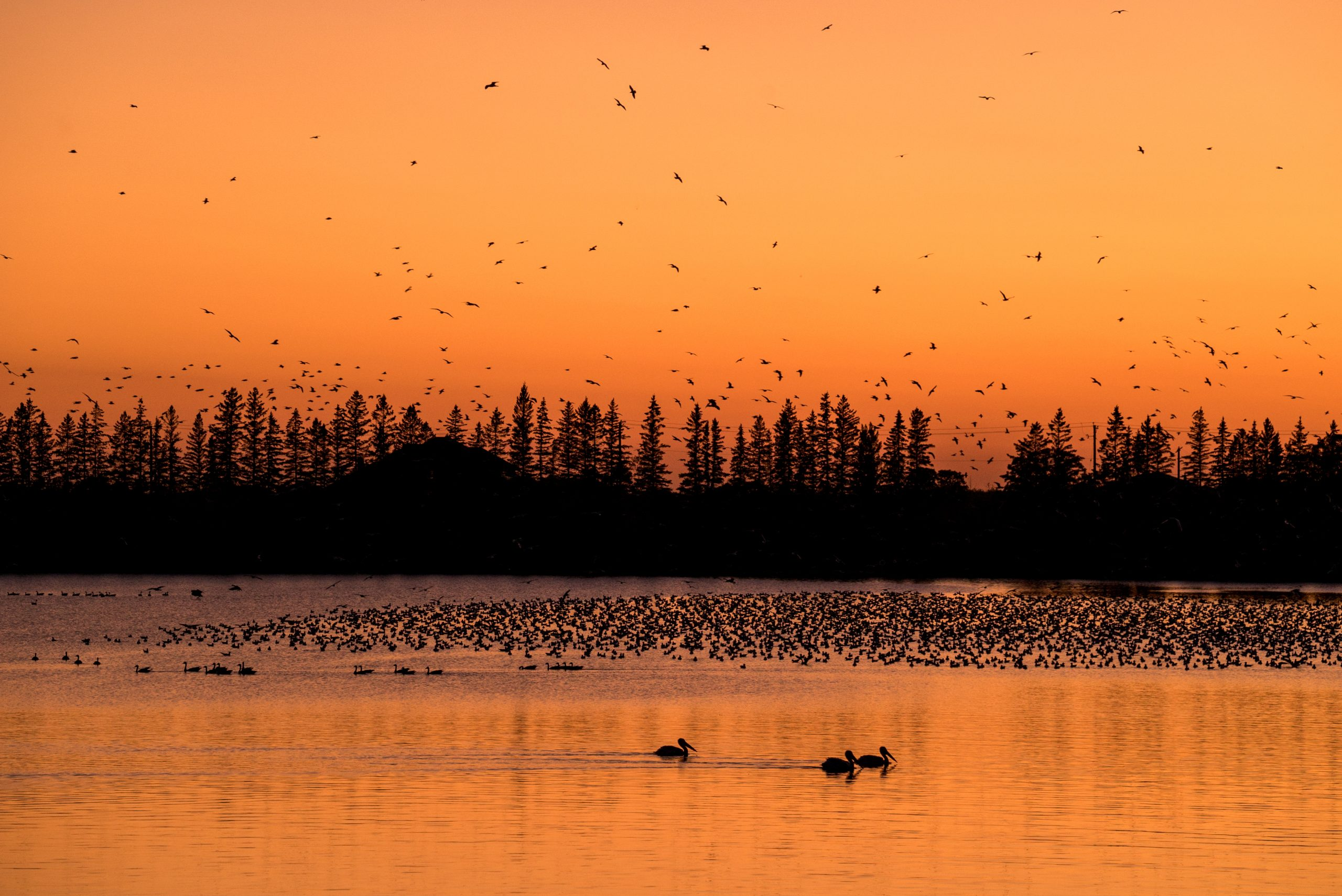 Silhouettes of geese fly over the lake at sunset