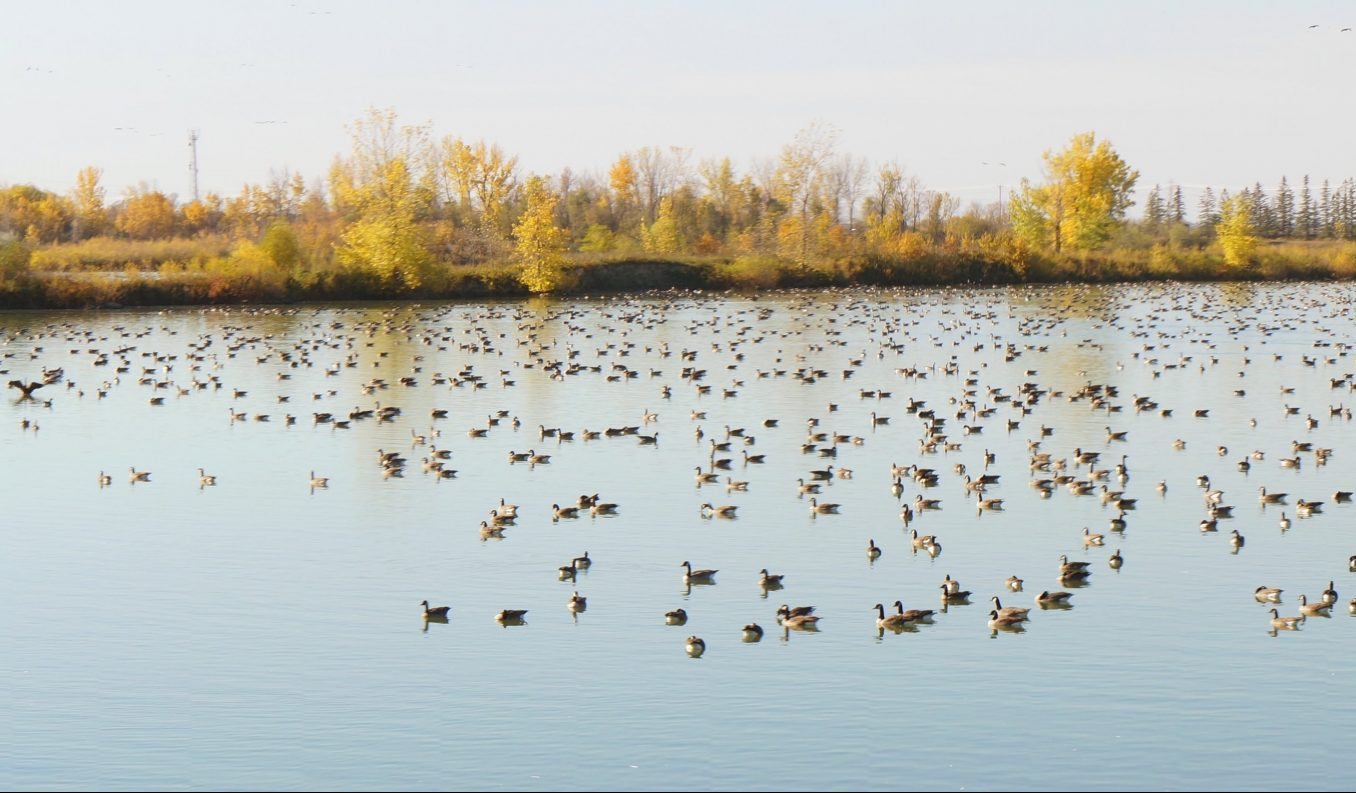 Dozens of geese float on the blue lake during the day.