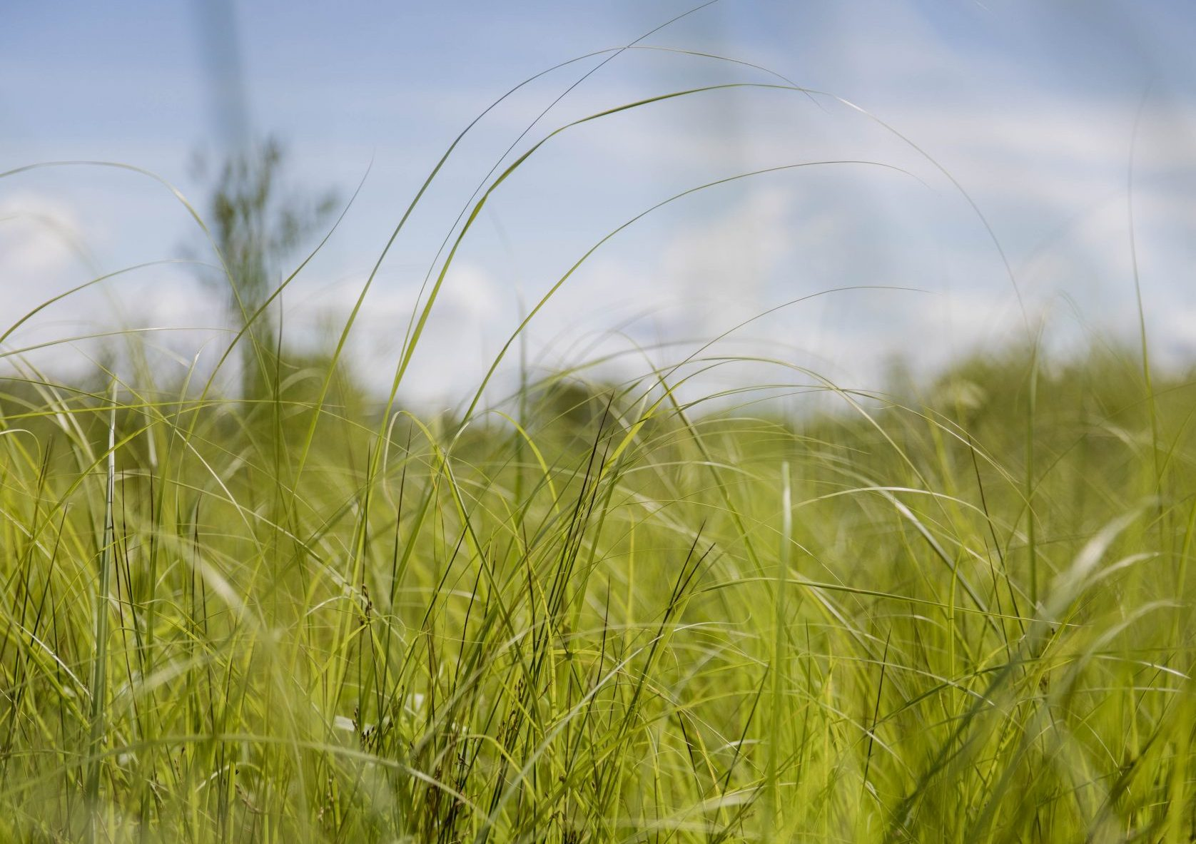 Tall green grass fills most of the photo with blue sky behind it.