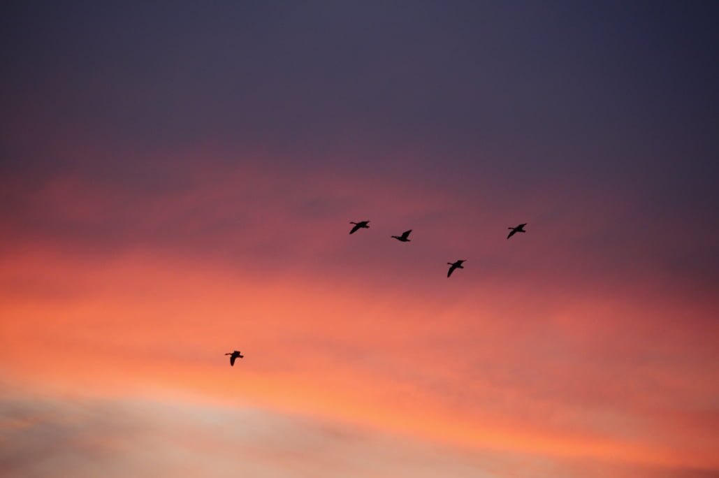 The silhouette of five geese flly in the orange and purple sky.