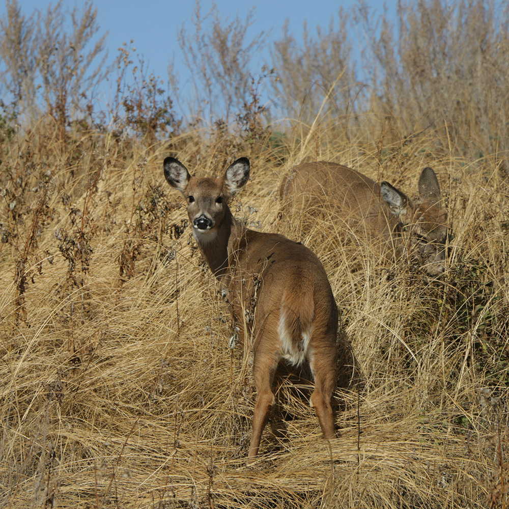 A deer looks back at the camera while another is beside it partially hidden by tall prairie grass.