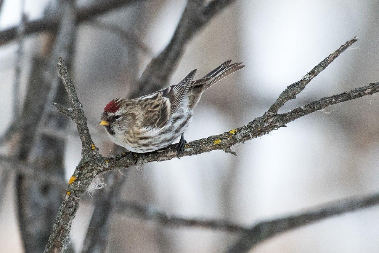 A brown and beige bird with a red tuff on its head perches on a tree branch.